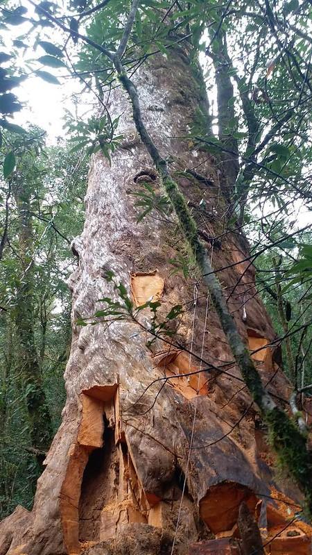 宜蘭明池千年林木被「濫啃」 警逮3山老鼠