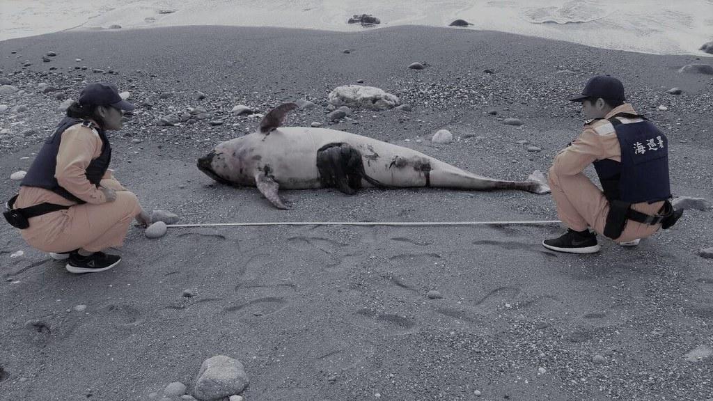 東部海岸四天三起鯨豚擱淺亡
