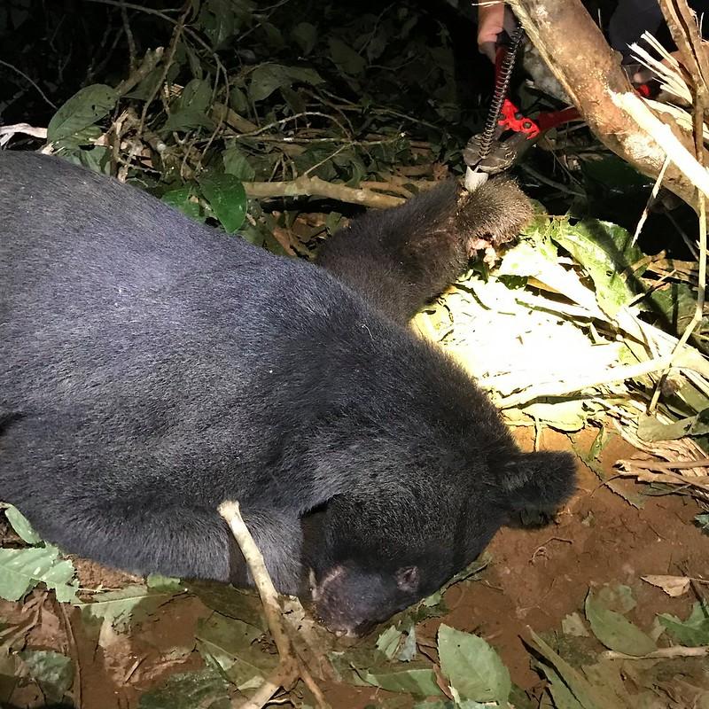 台灣黑熊二度受害 斷肢落陷阱獲救後野放