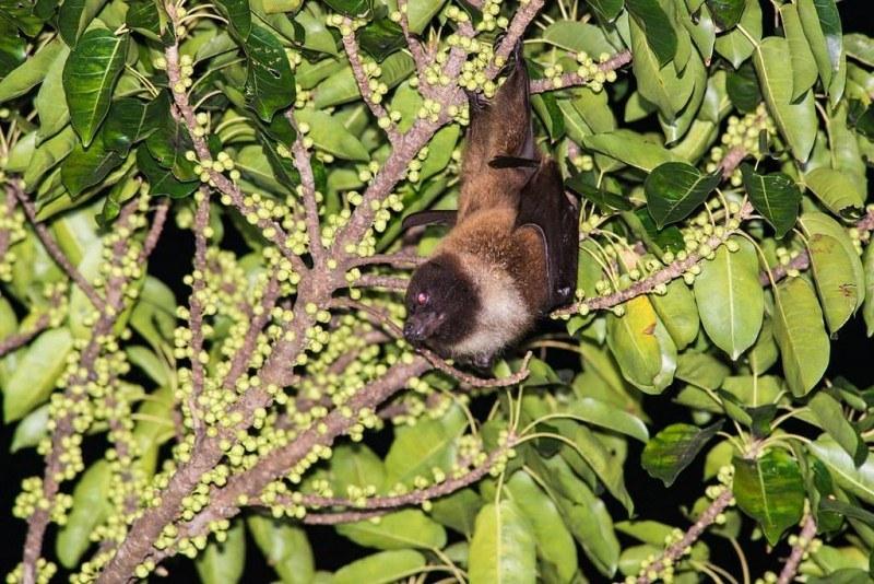 全台僅50隻 瀕危台灣狐蝠現身龜山島