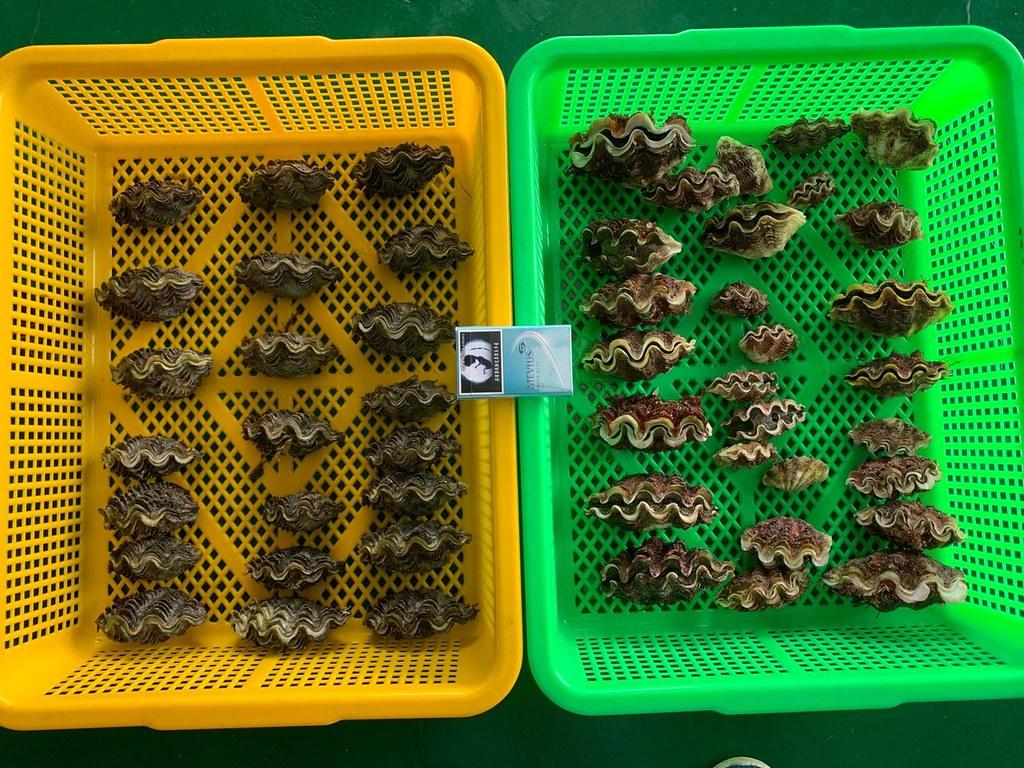綠島石朗50顆移植硨磲幼貝復育 全遭盜採一空