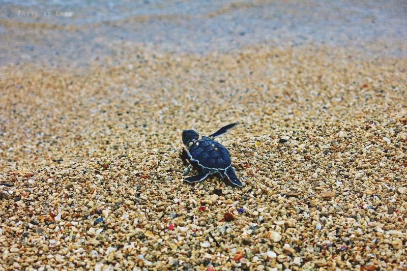 綠蠵龜要產卵 小琉球中澳沙灘要宵禁